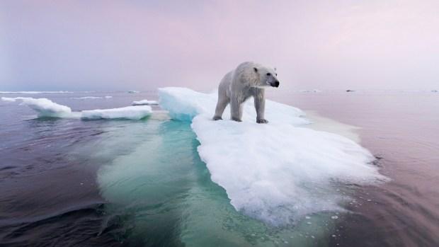 [NATL] As Paris Climate Talks End, a Look at Polar Bears in Their Natural Habitat