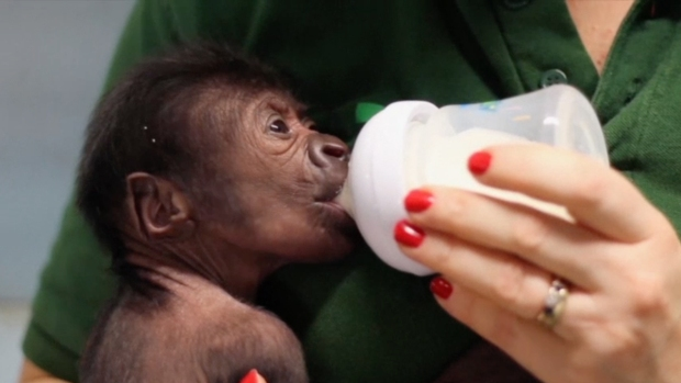 Gyno Helps Deliver Gorilla in Rare C-Section