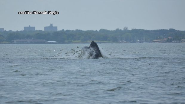 [HAR] Several Humpback Whales Spotted in Long Island Sound