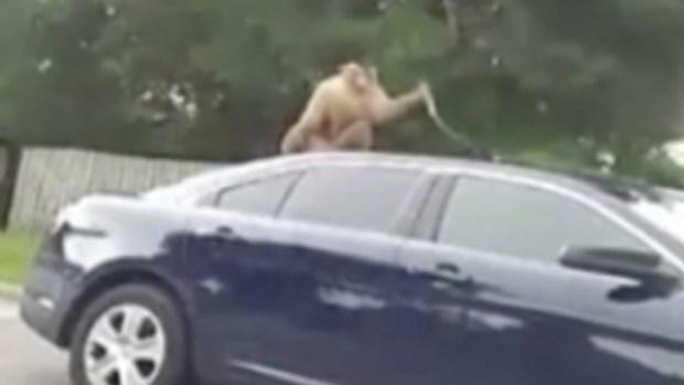 Escaped Monkey Pulls Molding Off Cop Car