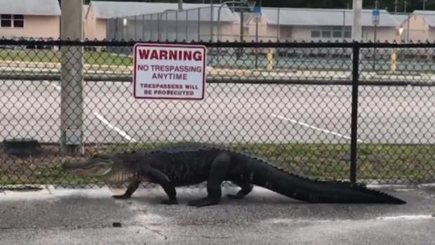 [NATL] Watch Alligator Stroll by Florida Middle School