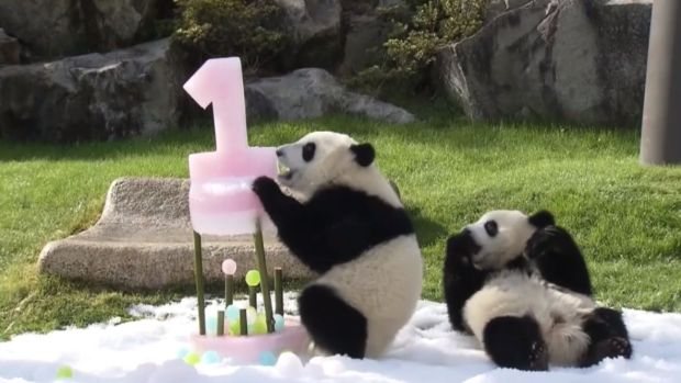 Twin Pandas Celebrate First Birthday With Cake