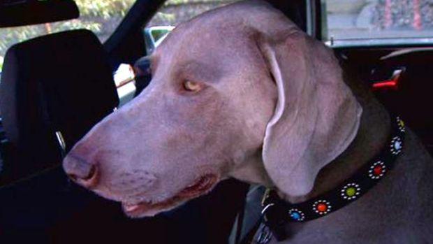 Dog Eats Marijuana Edible Dropped in Park