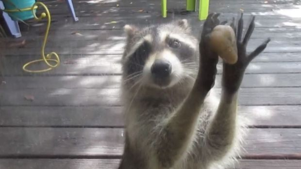 Rocksy Raccoon Knocks For Food