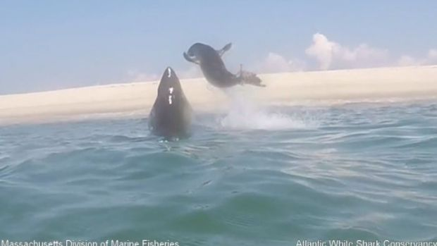 Incredible Video Captures Seal's Dramatic Escape From Shark Off Coast of Cape Cod