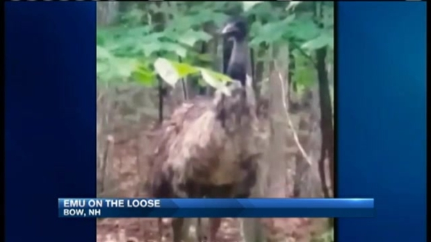 [NECN] Wandering Emu Seen in N.H.