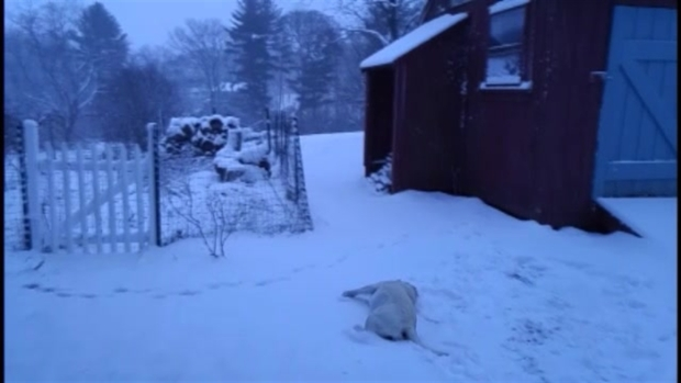 [NECN] Dog Makes Snow Angels