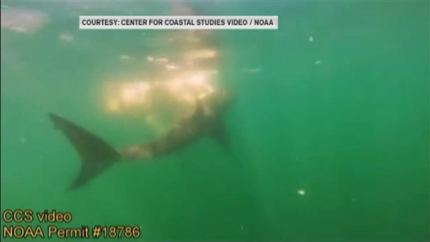 [NECN] 3 Beaches Closed on Cape Cod After 6 Great White Sharks Spotted Feeding on Whale Carcass