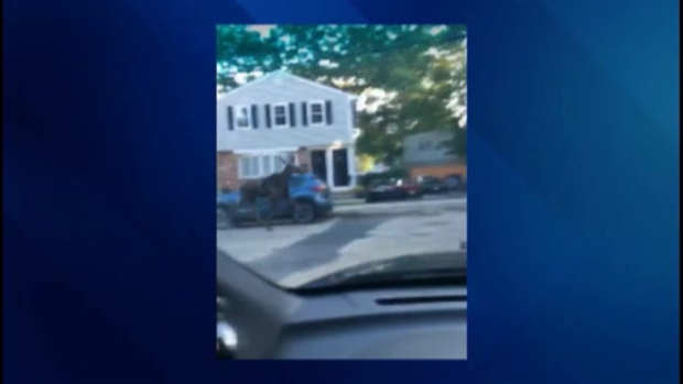 [NECN] Moose on the Loose in Belmont, Mass.