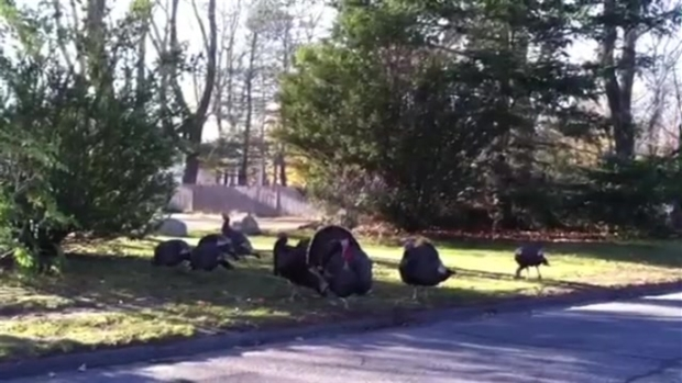 Viewer Video: Roaming Turkeys