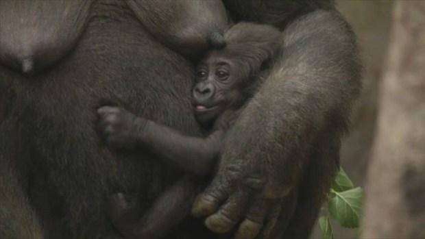 [NECN] Baby Gorilla With Mom Kiki