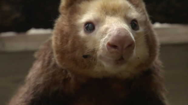 Oldest Tree Kangaroo on Record Celebrates Birthday