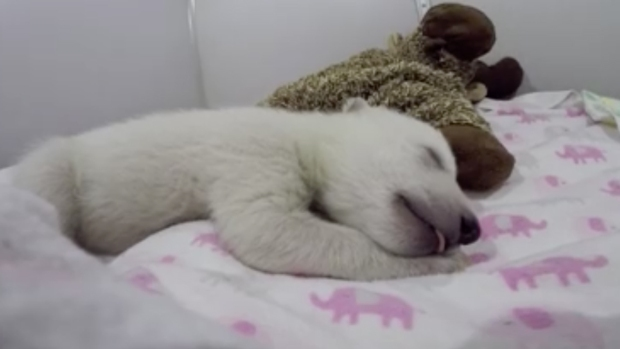 5-Week-Old Polar Bear Cub's Nap Caught on Video