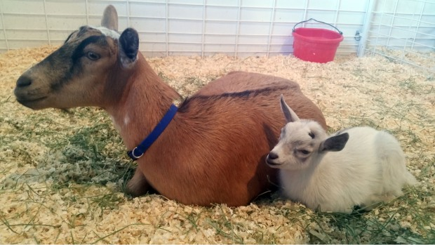 Missing Pygmy Goat Returned