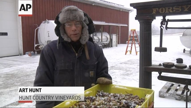 Temps Drop Enough for Ice Wine Harvest in Finger Lakes