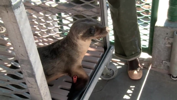 Sea Lion Found in Restaurant Booth Recovering