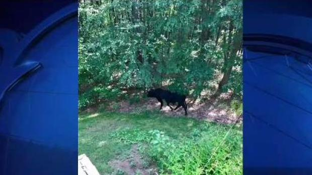 [NECN] Animal Control Spends Day Searching for Bull