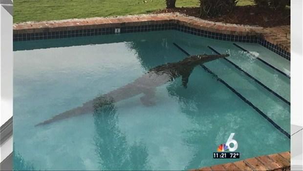 [NATL-MIA] Crocodile Found in Pool in Florida Keys