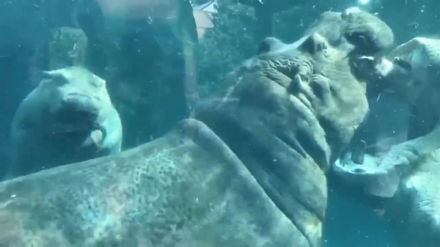 [NATL-MI] Baby Hippo Gets Playful With Her Dad Inside Zoo