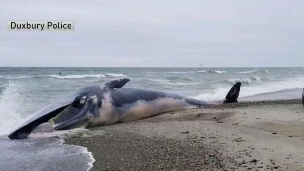 [NECN] Whale Washes Ashore in Duxbury, Mass.