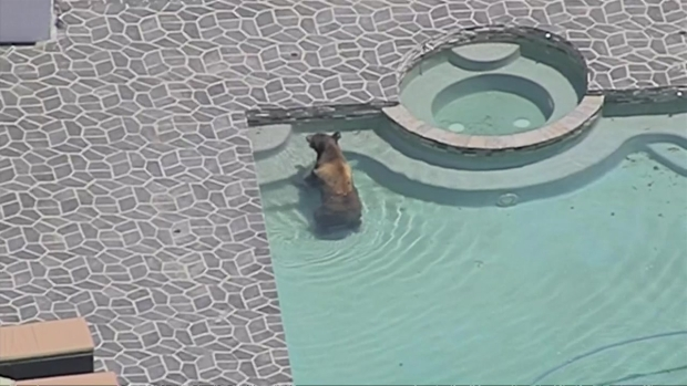 RAW: Bear Takes Dip in Granada Hills Pool