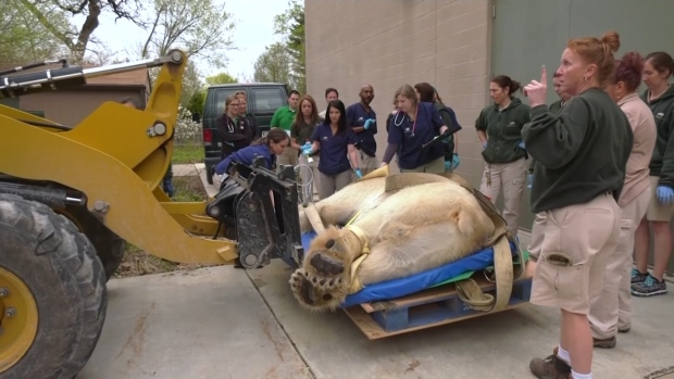 [NATL] 1,000-Lb. Polar Bear Gets a Lift to Checkup Via Forklift