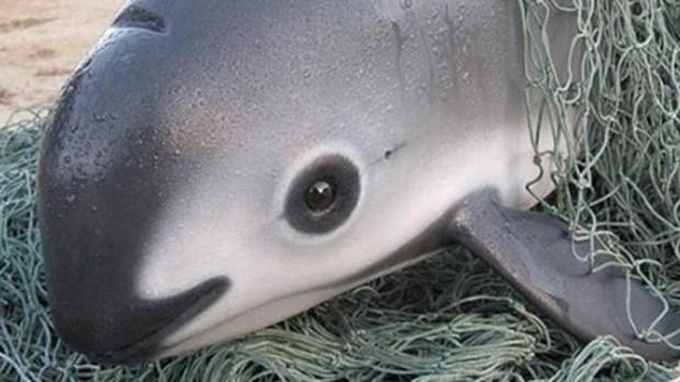 Meet the Vaquita, the Rare Sea Mammal With 30 Members Left