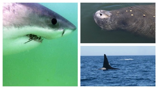 Sharks, Orcas and Manatees: A Wild, Wild Summer Off Cape Cod