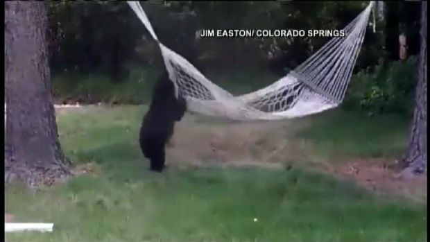 Baby Bear Plays in Backyard Hammock