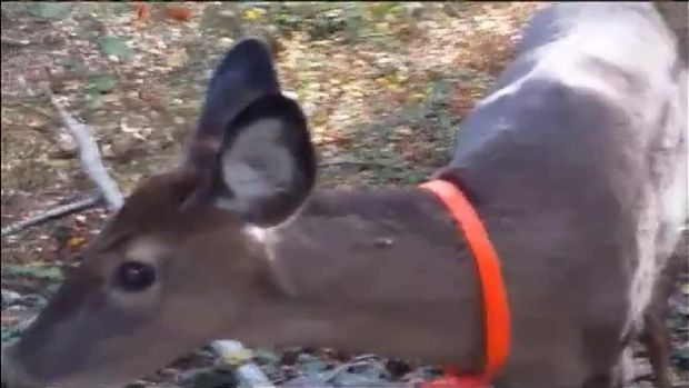 Fearless Deer Comes Face to Face With Dog
