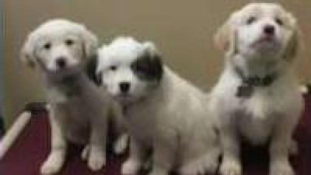 [NECN] Puppies Named After Bruins Players Headed to City Hall Plaza
