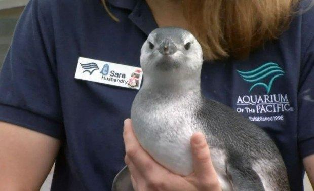 Raw Video: Penguin Chick Dives Into Aquarium Life