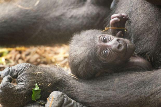 Franklin Park Zoo's Baby Gorilla