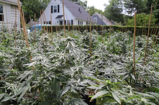 Marijuana Plants Seized by Police