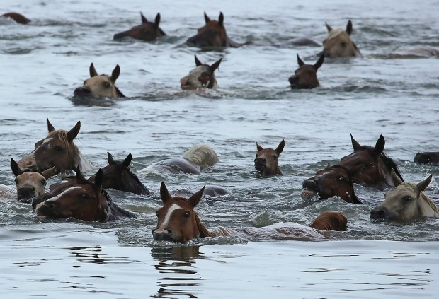A Sea of Wild Ponies: Photos of Massive Va. Pony Swim