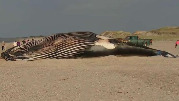 [NECN] Dead Whale on Cape Cod Beach Draws Crowd
