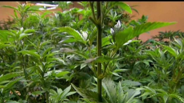 [NECN] Gov. Baker Urges Regulators to Slow Marijuana Rollout