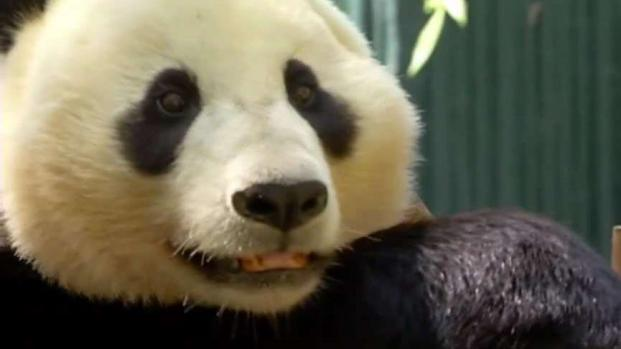 [NATL-DGO] How Will a Panda-less Zoo Impact Business?
