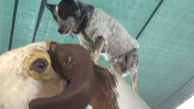 This Pup Makes Riding a Mechanical Bull Look Easy