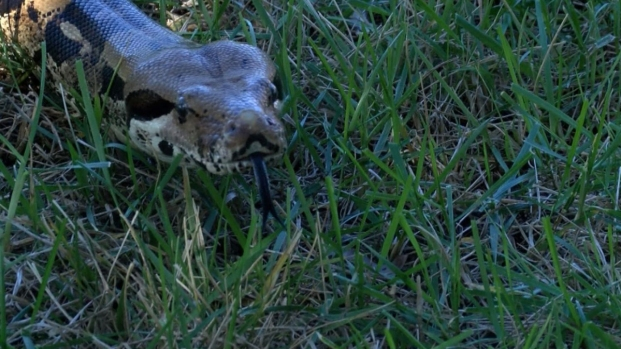 Fire Dept. Rescues Boa Constrictor From Tree