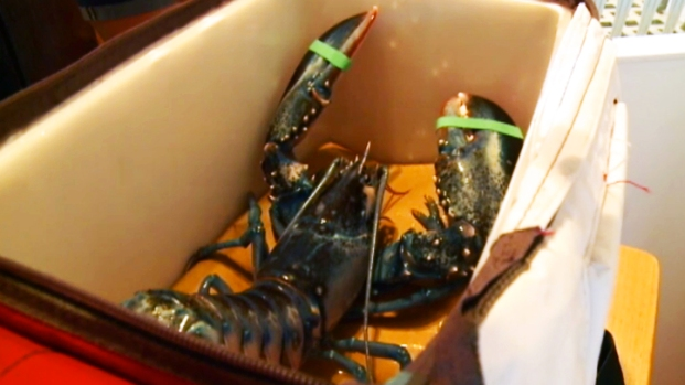Shell Shocker: Rare Blue Lobster Found