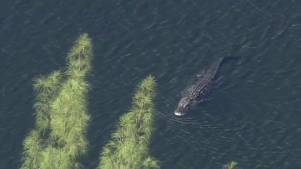 Fla. Police Release 911 Call From Gator Attack Witness
