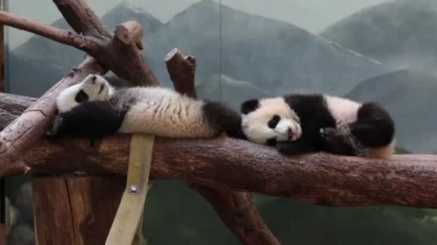 Twin Panda Cubs Reach Milestone At Georgia Zoo