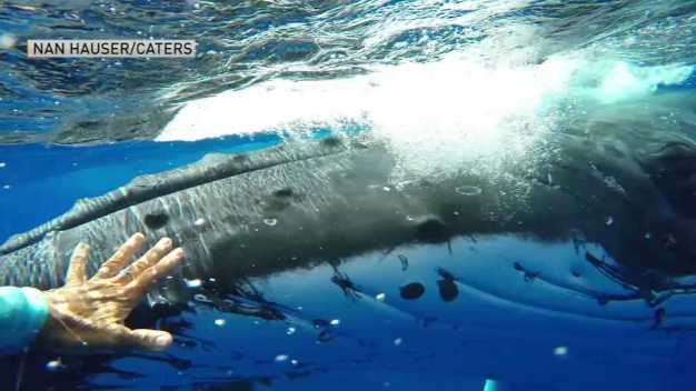 Maine Researcher Says Whale Protected Her From Shark Attack