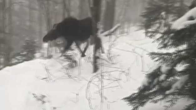WATCH: Skiers and Riders Encounter Moose at Vermont Resort