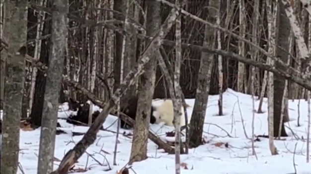 WATCH: Rare Albino Porcupine Waddles Through Maine Woods