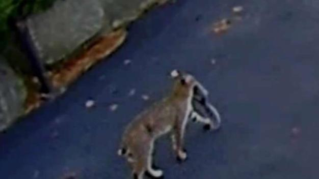 'Really Cool': Westford Residents Spot Bobcats