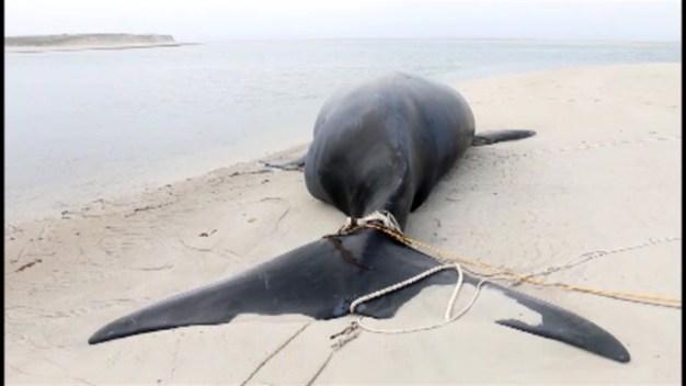 Whale Calf Found Dead Off Chatham, Massachusetts Coast