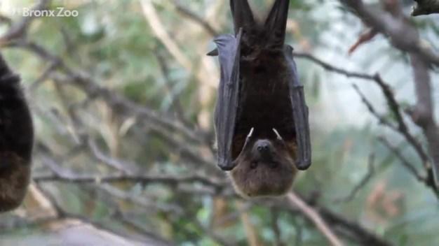 Baby Otter and Bats Debut at Bronx Zoo