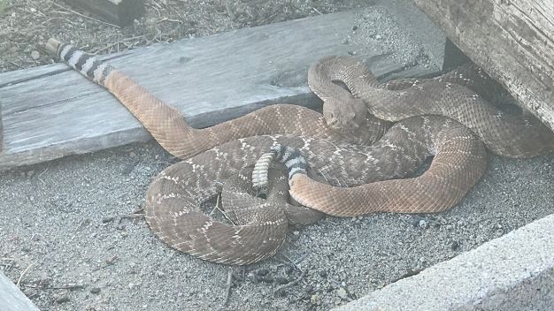 5-Foot Long Snake Slithers Out of Texas Toilet